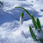 planse-de-colorat-ghiocei-1-martie-8-martie-desene-de-colorat-fise-de-colorat-primavara-flori-de-primavara-1