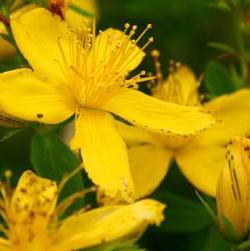 Plante medicinale, galbenele, levantica, coada soricelului, dureri de stomac, dureri de cap, dureri de dinti, infectii