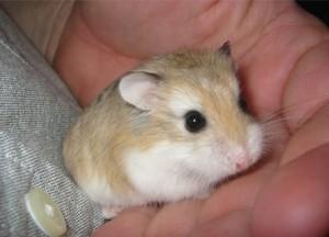 hamster,hamsters,hamster dresat,dresaj hamsteri