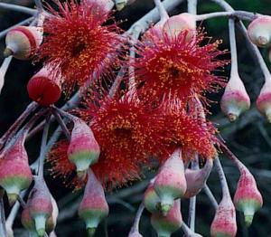 eucalipt,cum alegem plantele,feng,shui,eucaliptul