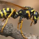 viespea gigant,insecte exotice,viespea,insecte
